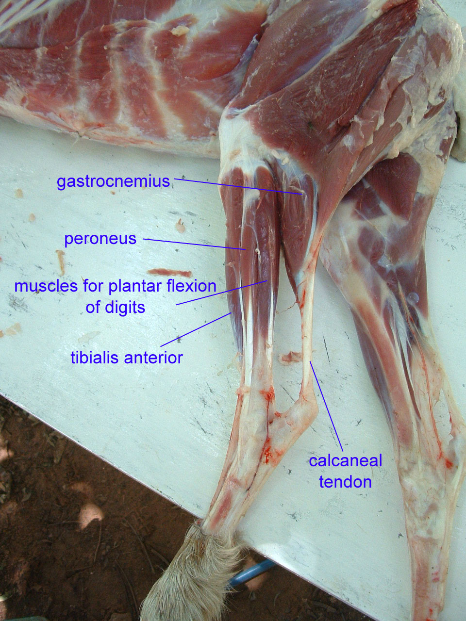 Cat Leg Anatomy