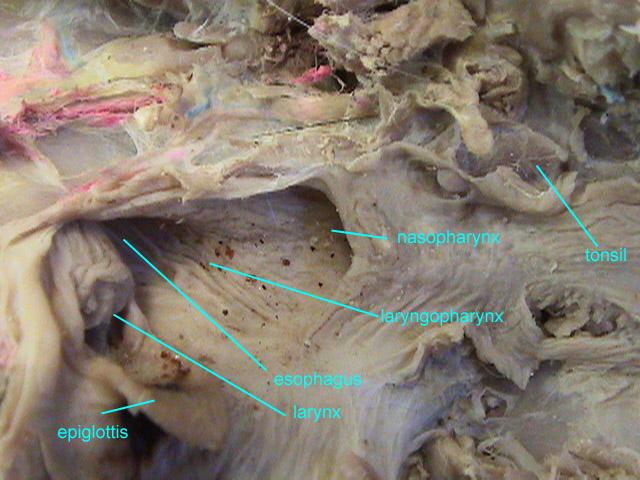 Oropharynx Cat Untitled Docume...