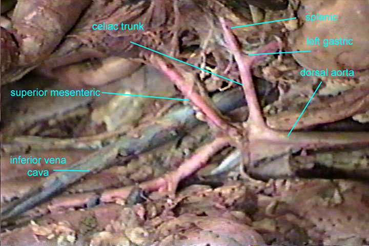 Pictures Of Hepatic Vein Cat Kidskunstfo