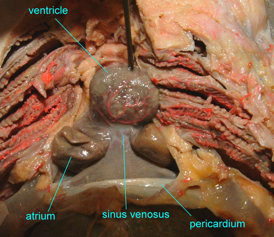 Cardiovascular System The Heart and Vessels of Mammals