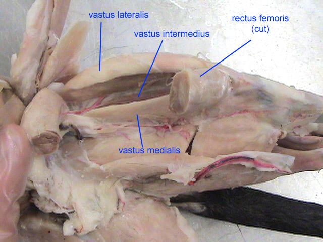 Pig Knee Anatomy