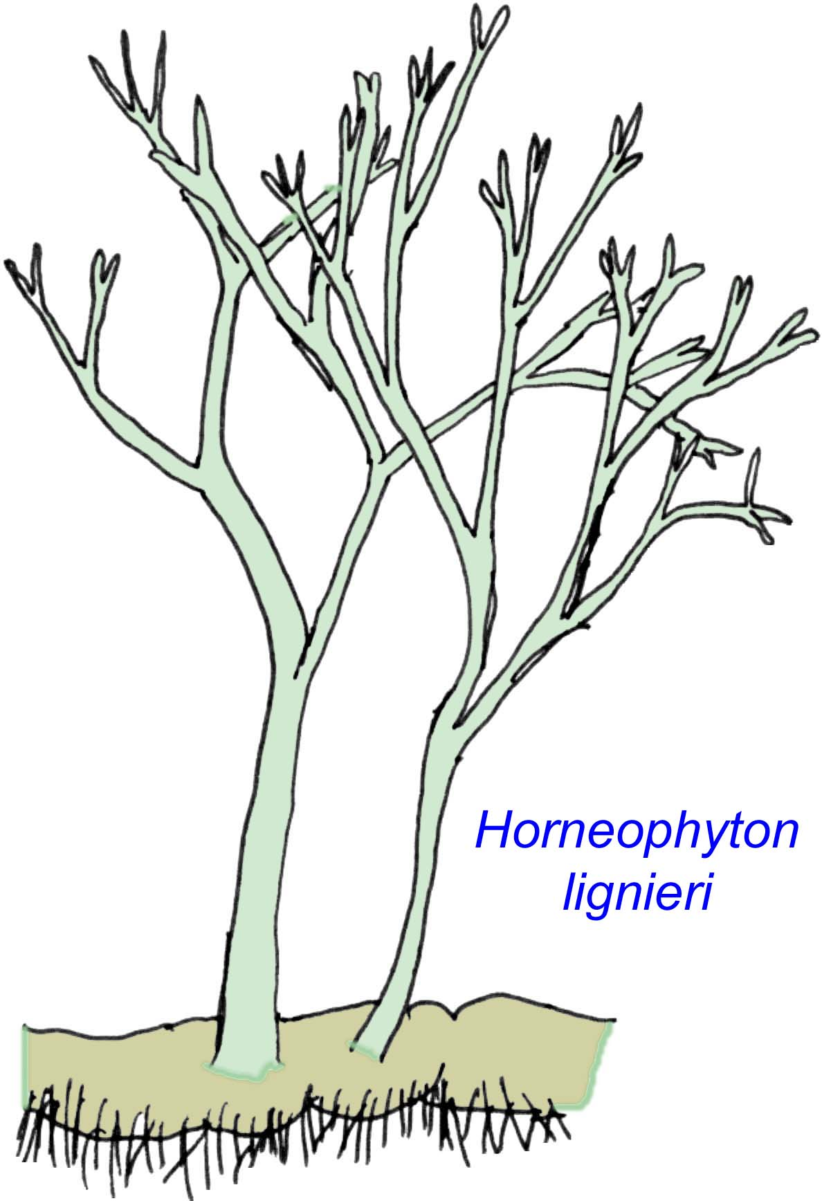 Vascular System In Plants Primitive vascular plants: Xylem And Phloem In Plants